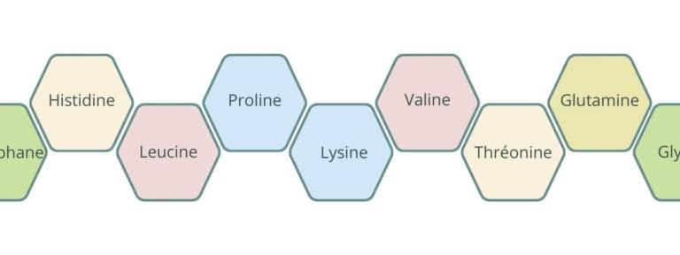 Les protéines sont composées de chaînes d'acides aminés, plus ou moins longues.